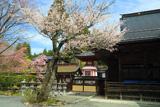 高野山 南院の桜