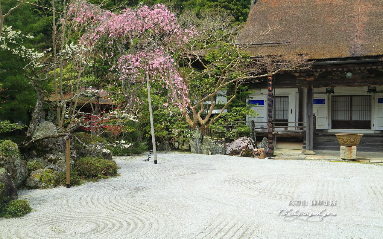 高野山 蓮華定院の桜 壁紙