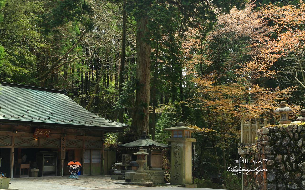 高野山 女人堂の山桜 壁紙