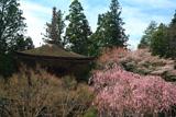 高野山 紅枝垂桜と金輪塔