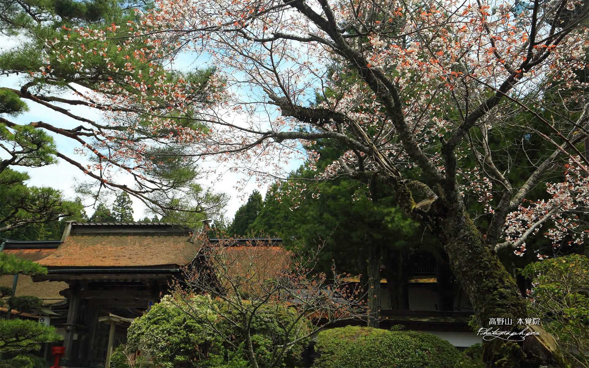 高野山 本覚院の桜