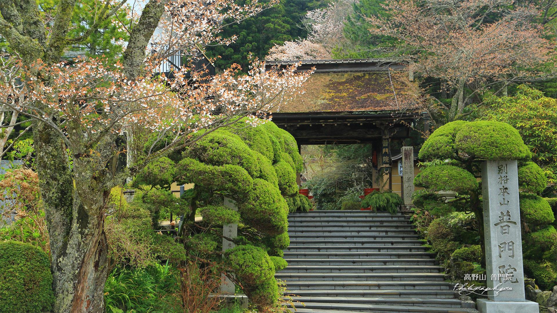 高野山 普門院の桜