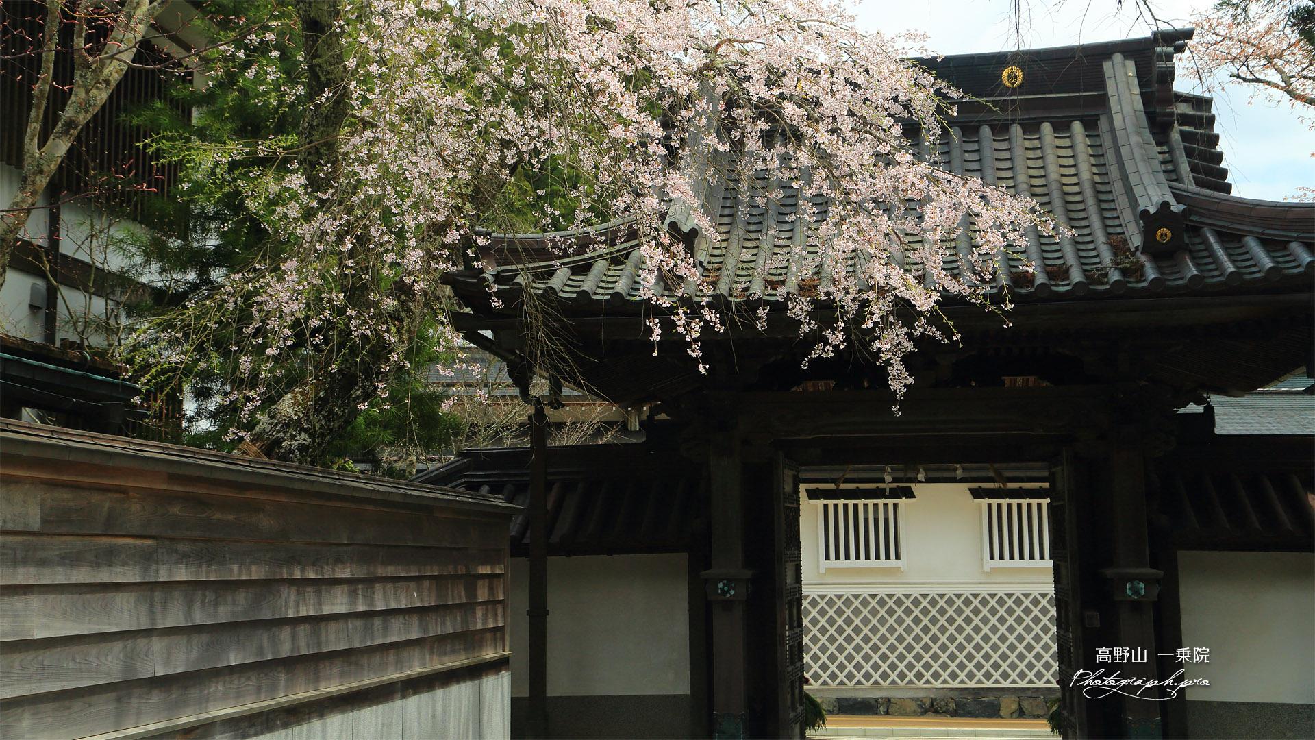 高野山 一乗院の桜