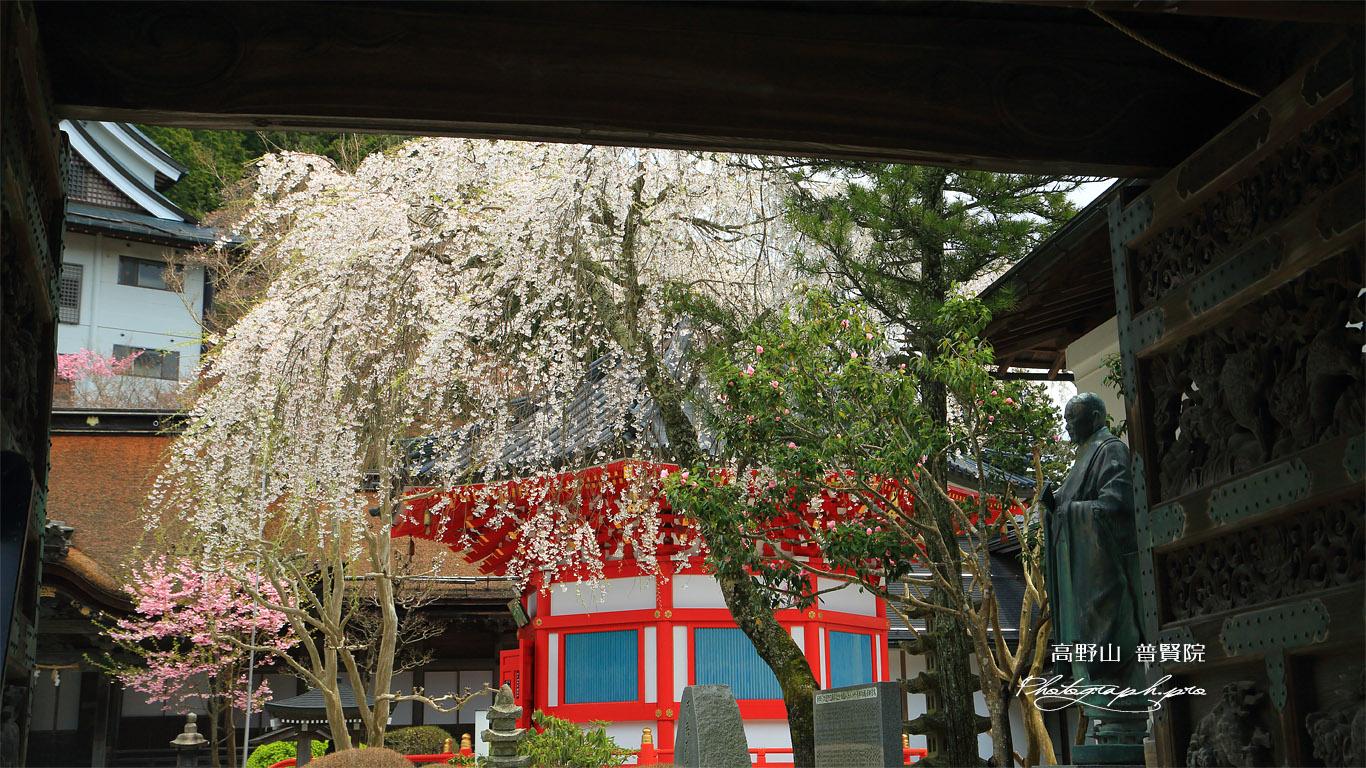 高野山 普賢院の桜 壁紙