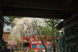 高野山 普賢院の桜