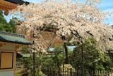 高野山 西南院の桜