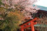 高野山 大山桜と大門