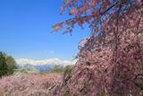 番所と立屋の桜