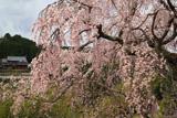 加賀田のしだれ桜