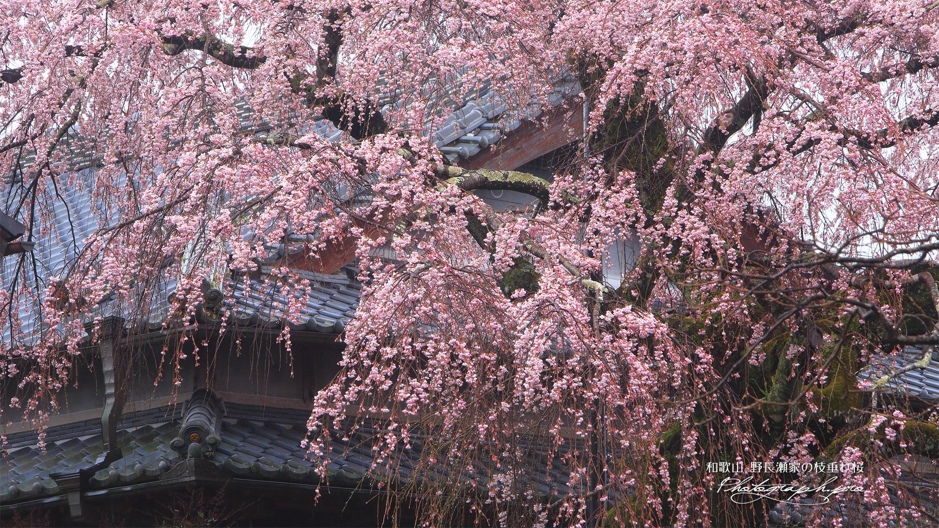 野長瀬家の枝垂れ桜