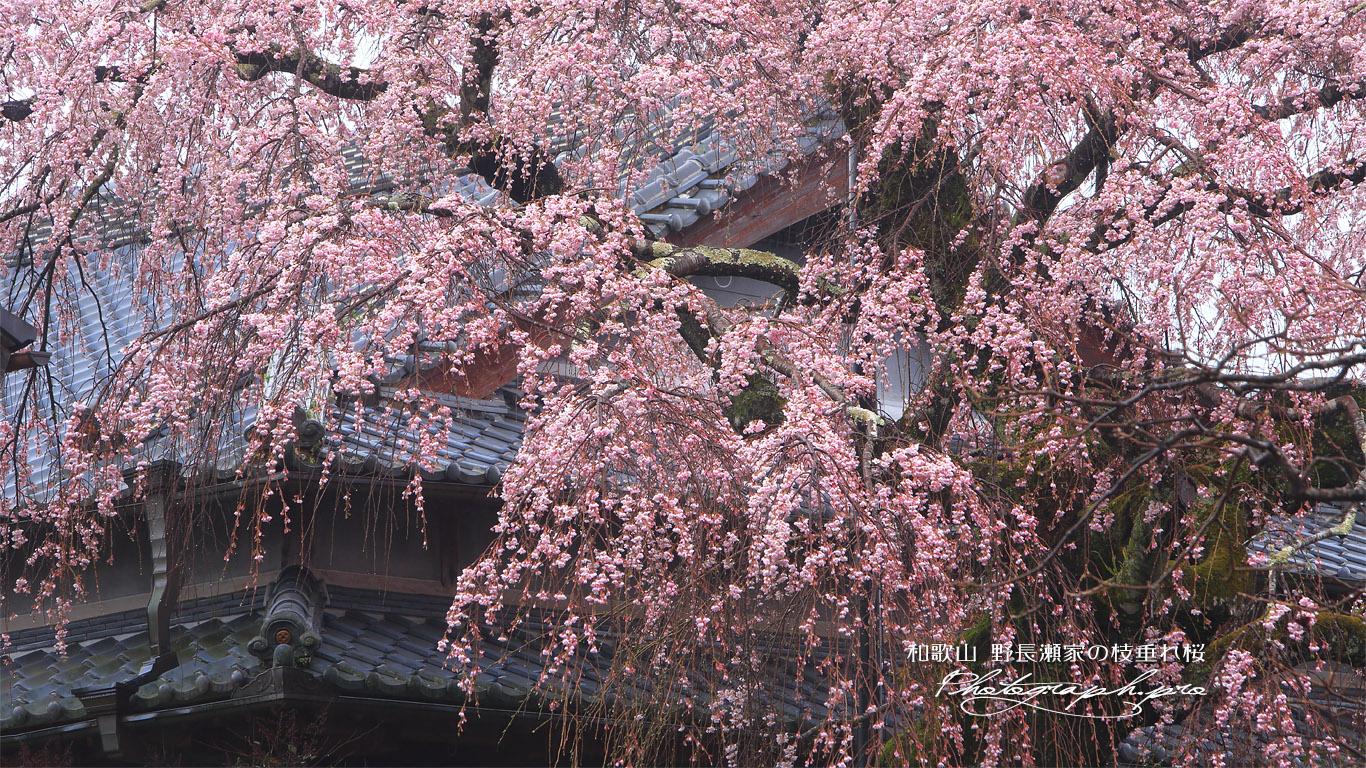 野長瀬家の枝垂れ桜 壁紙