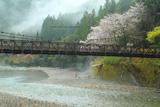 川湯温泉の桜