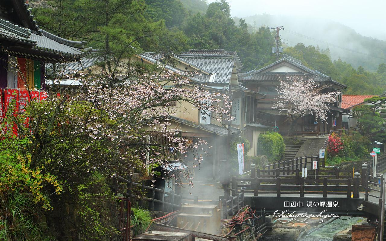 湯の峰温泉の桜 壁紙