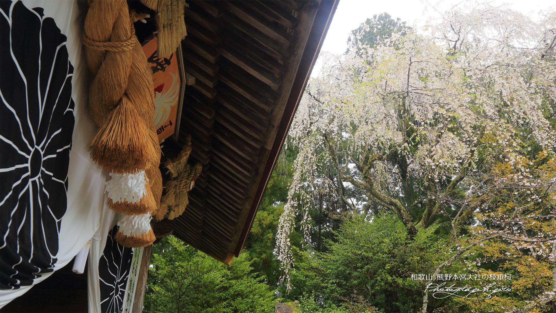 熊野本宮大社のしだれ桜