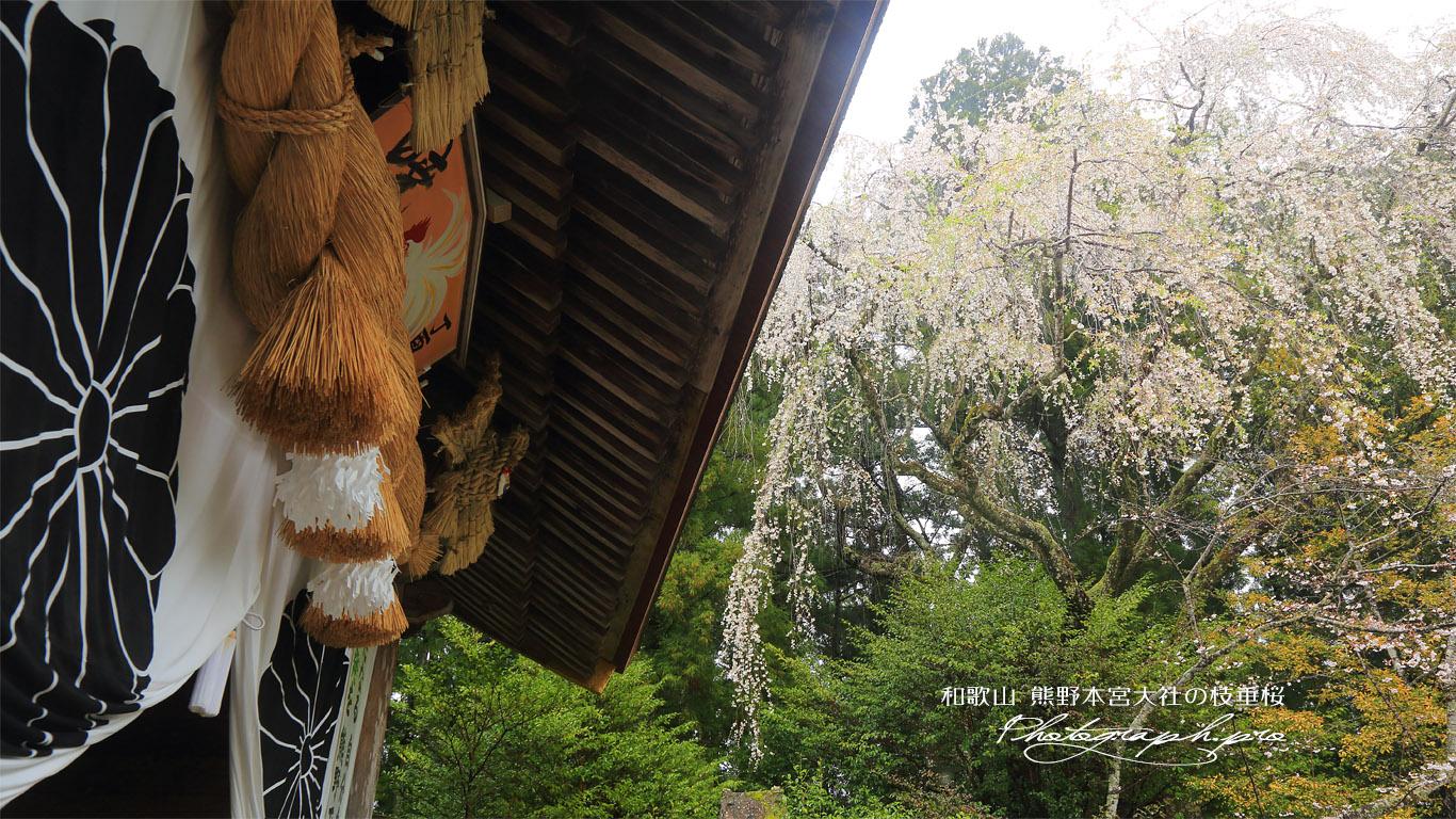 熊野本宮大社のしだれ桜 壁紙