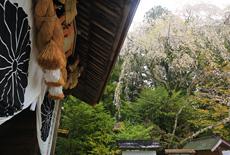 熊野本宮大社の桜