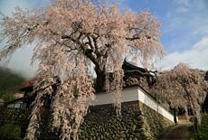 光福寺の大イトザクラ