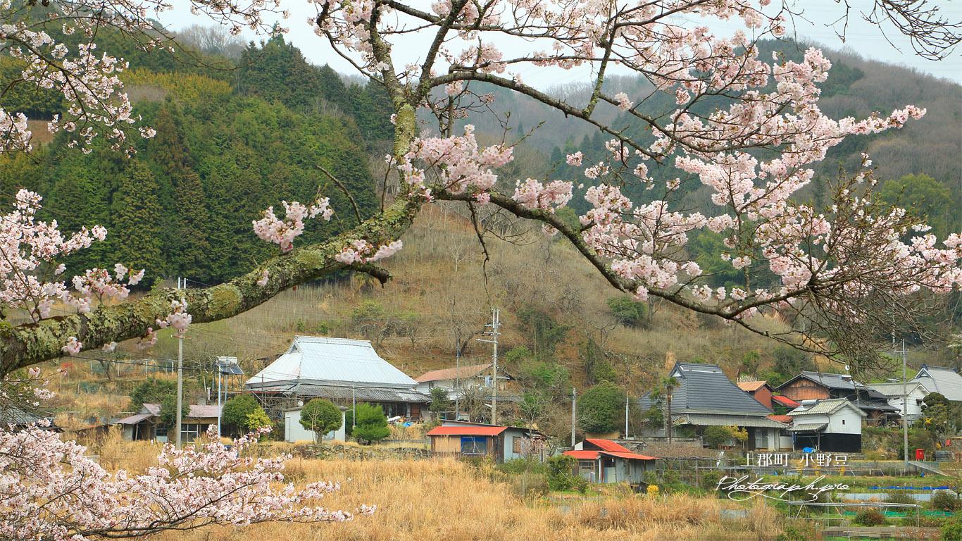 上郡町 小野豆の桜 壁紙