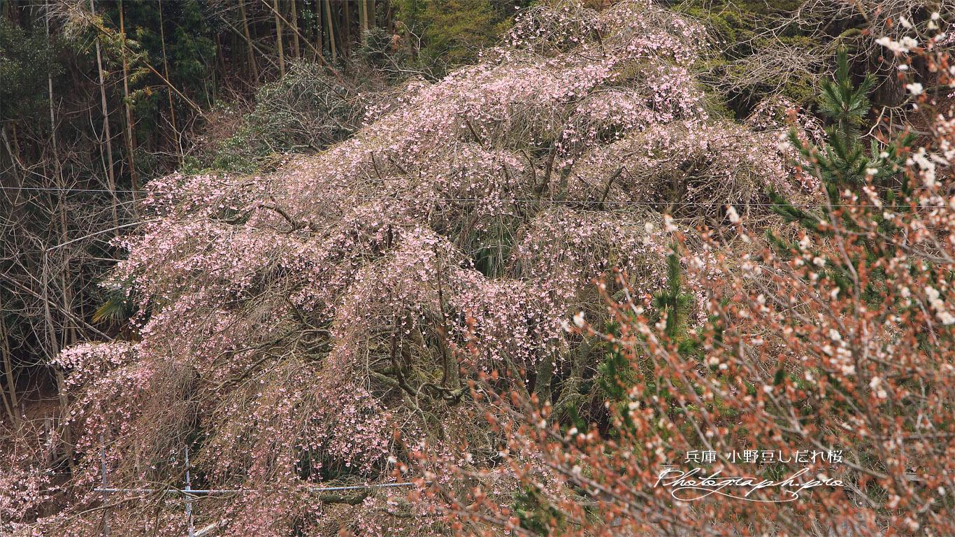 小野豆しだれ桜 壁紙