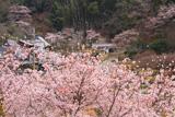 小野豆しだれ桜