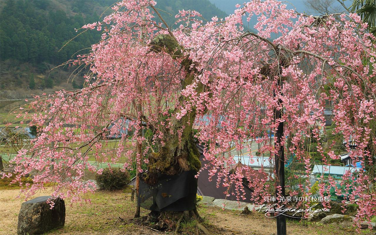 祐泉寺の紅枝垂桜 壁紙