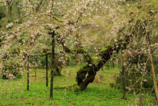 高貴寺の臥龍桜
