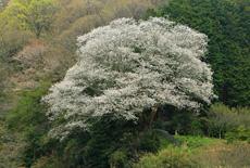 平石峠口の山桜