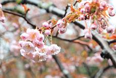 御形神社正福寺桜