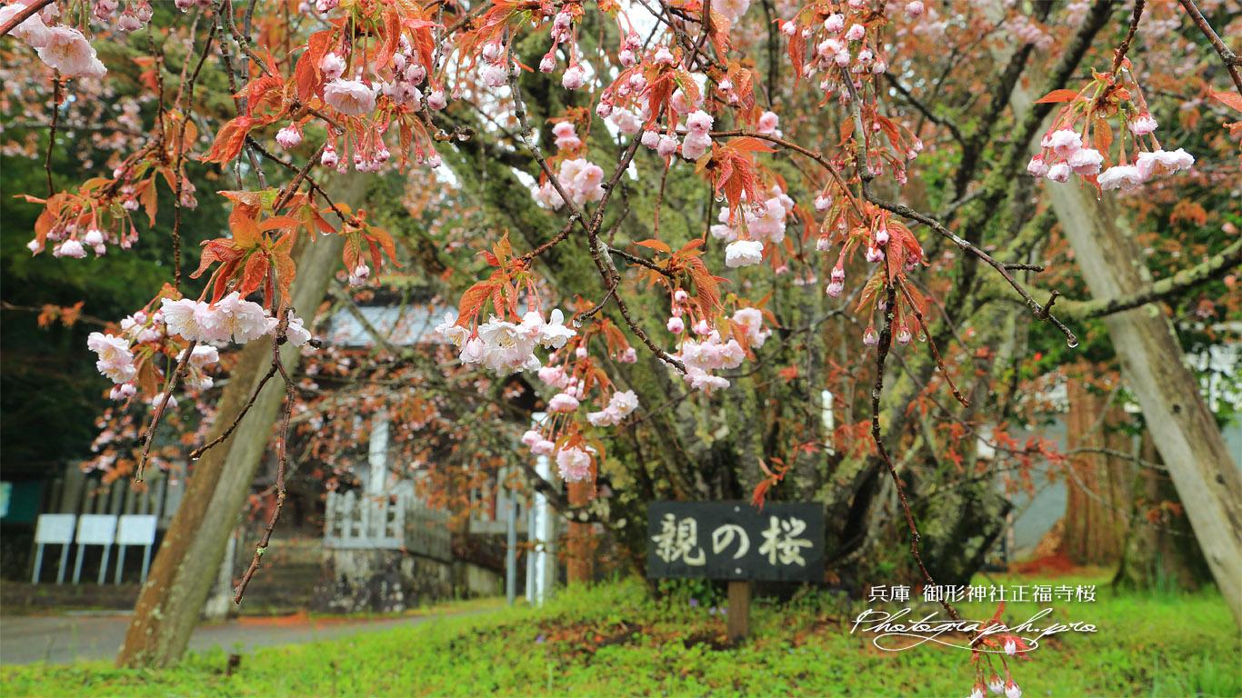 御形神社正福寺桜 壁紙
