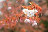 御形神社正福寺子桜