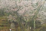赤松ザクラ