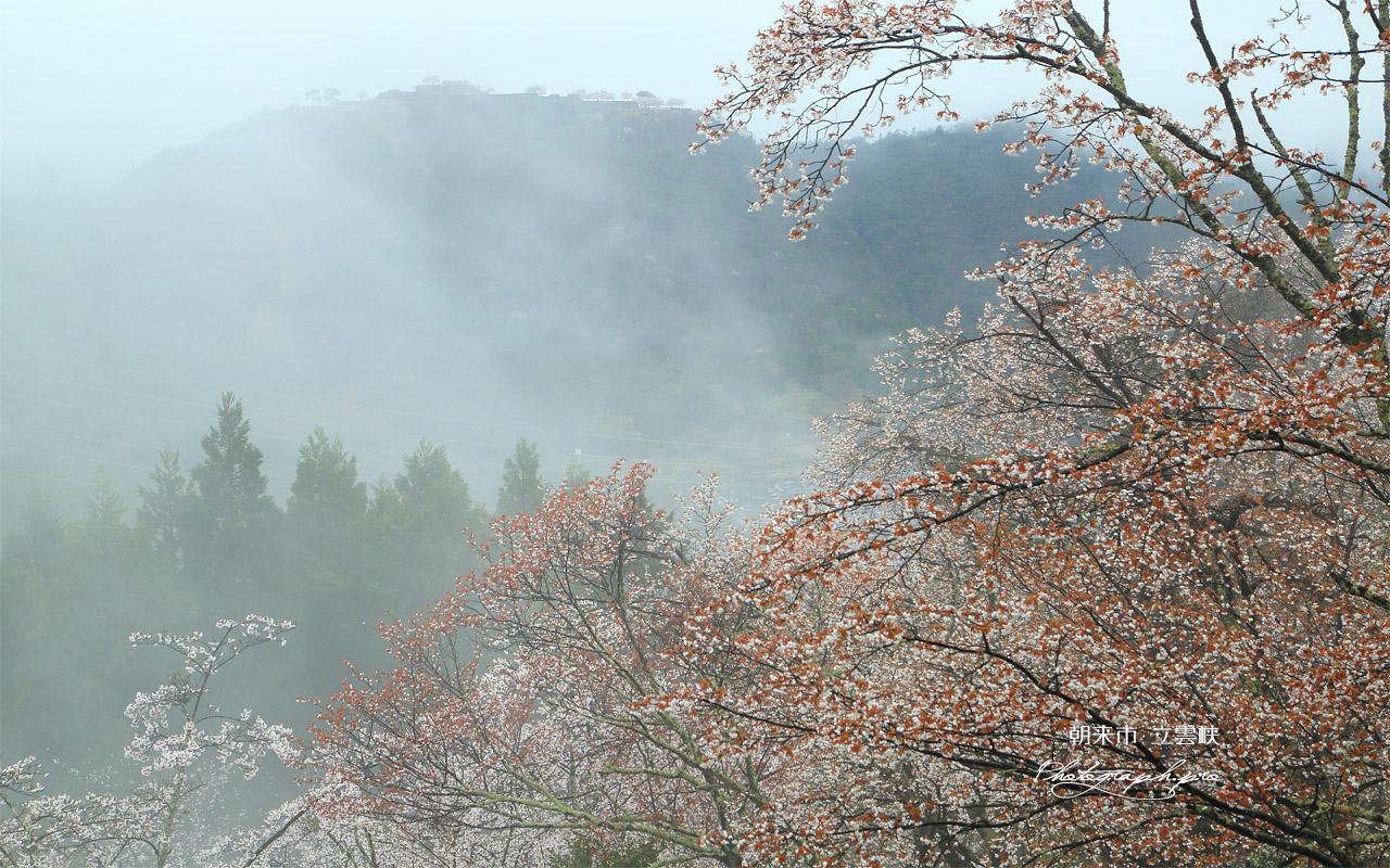 立雲峡の山桜 壁紙