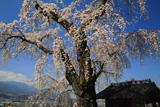 渕静寺のしだれ桜