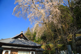 喬木村 渕静寺の桜