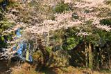 壬生沢諏訪社のエドヒガン