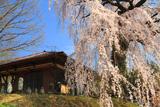 木門のしだれ桜