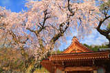 泉龍院のしだれ桜