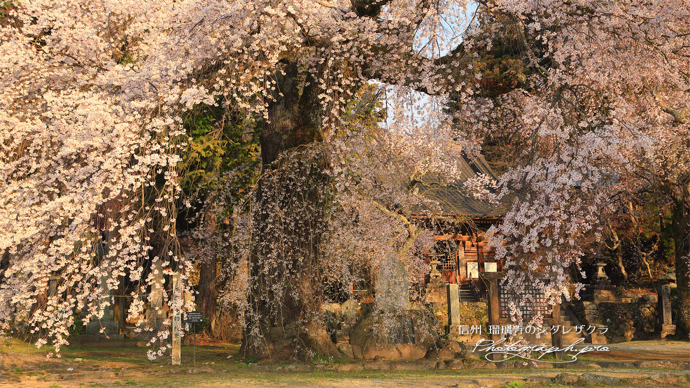瑠璃寺の枝垂桜 壁紙