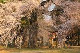瑠璃寺の枝垂桜