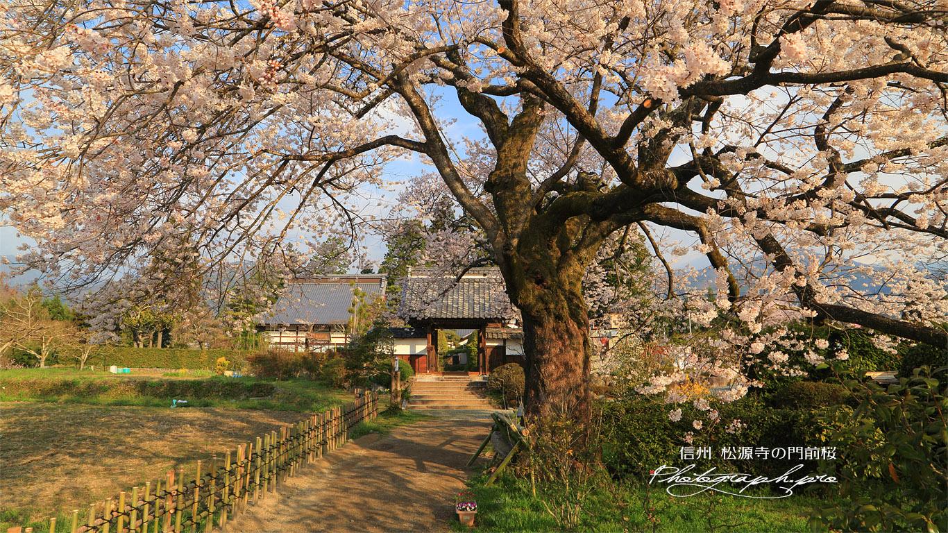 松源寺の門前桜 壁紙