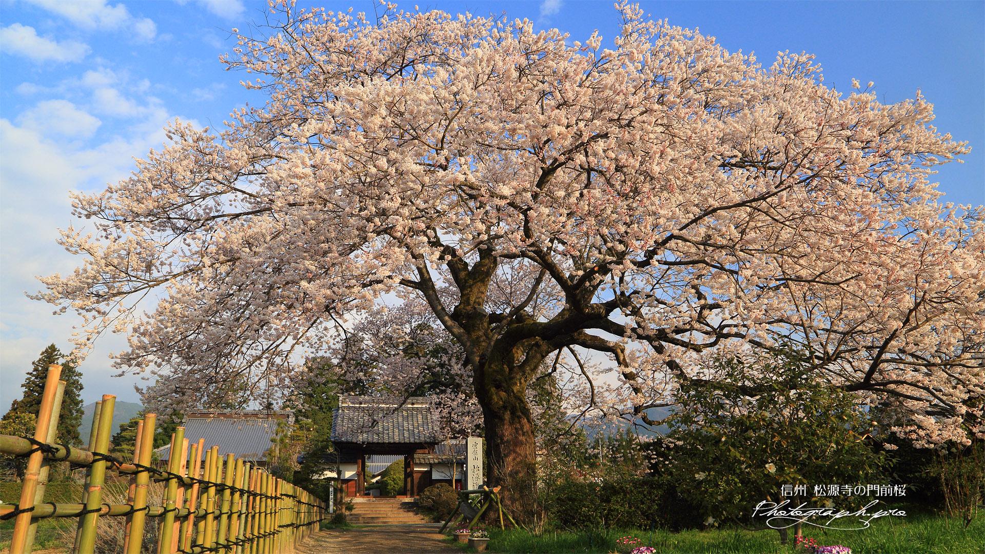 松源寺の門前桜