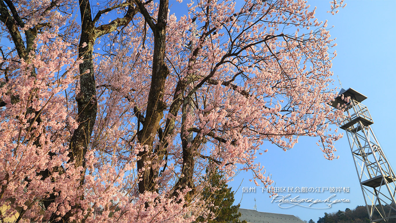 下市田区民会館の江戸彼岸桜 壁紙