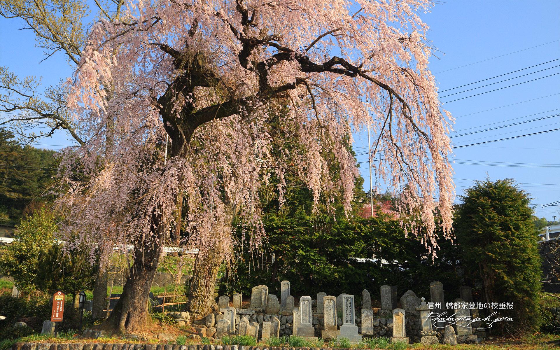 橋都家墓地の枝垂桜