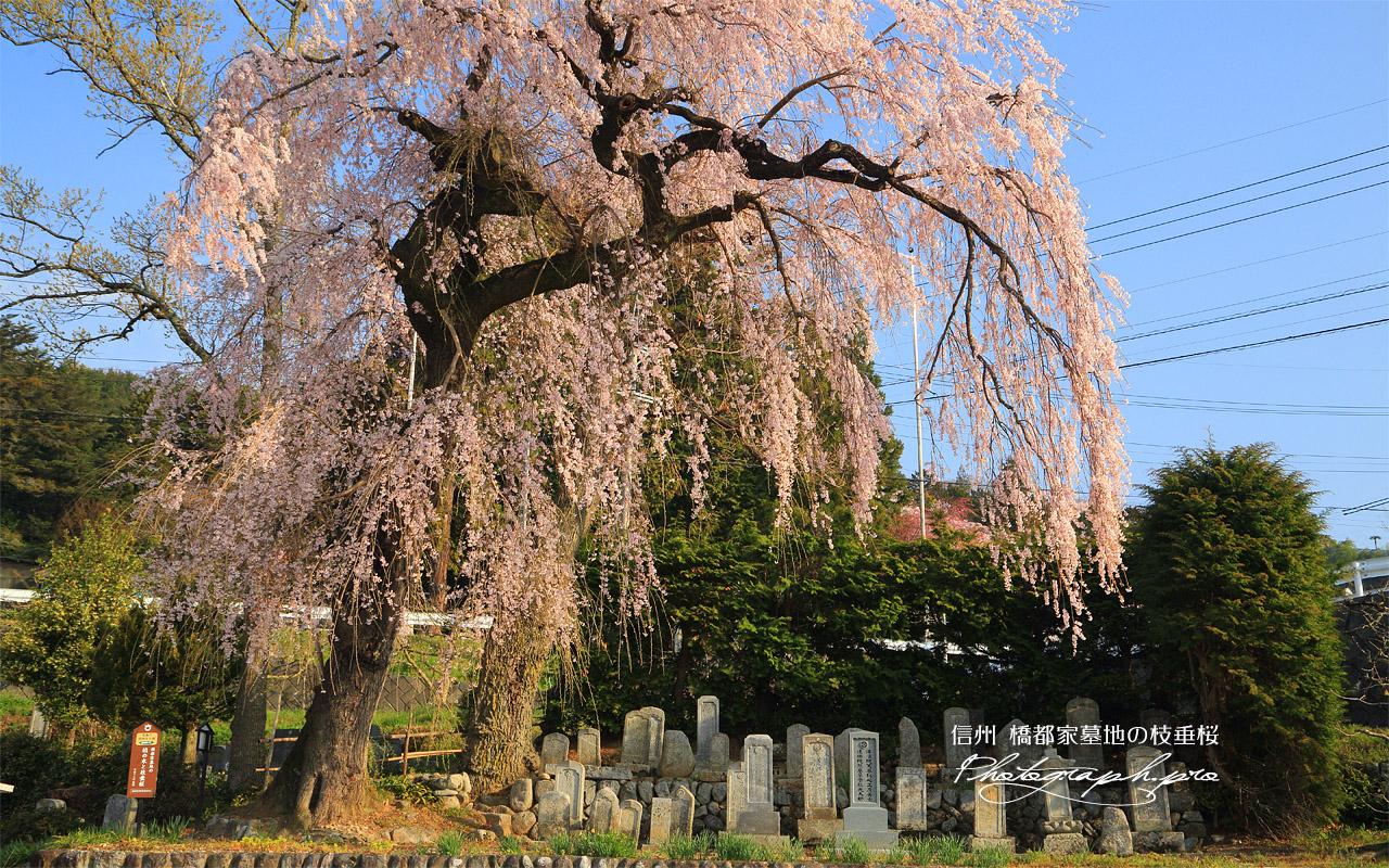 橋都家墓地の枝垂桜 壁紙
