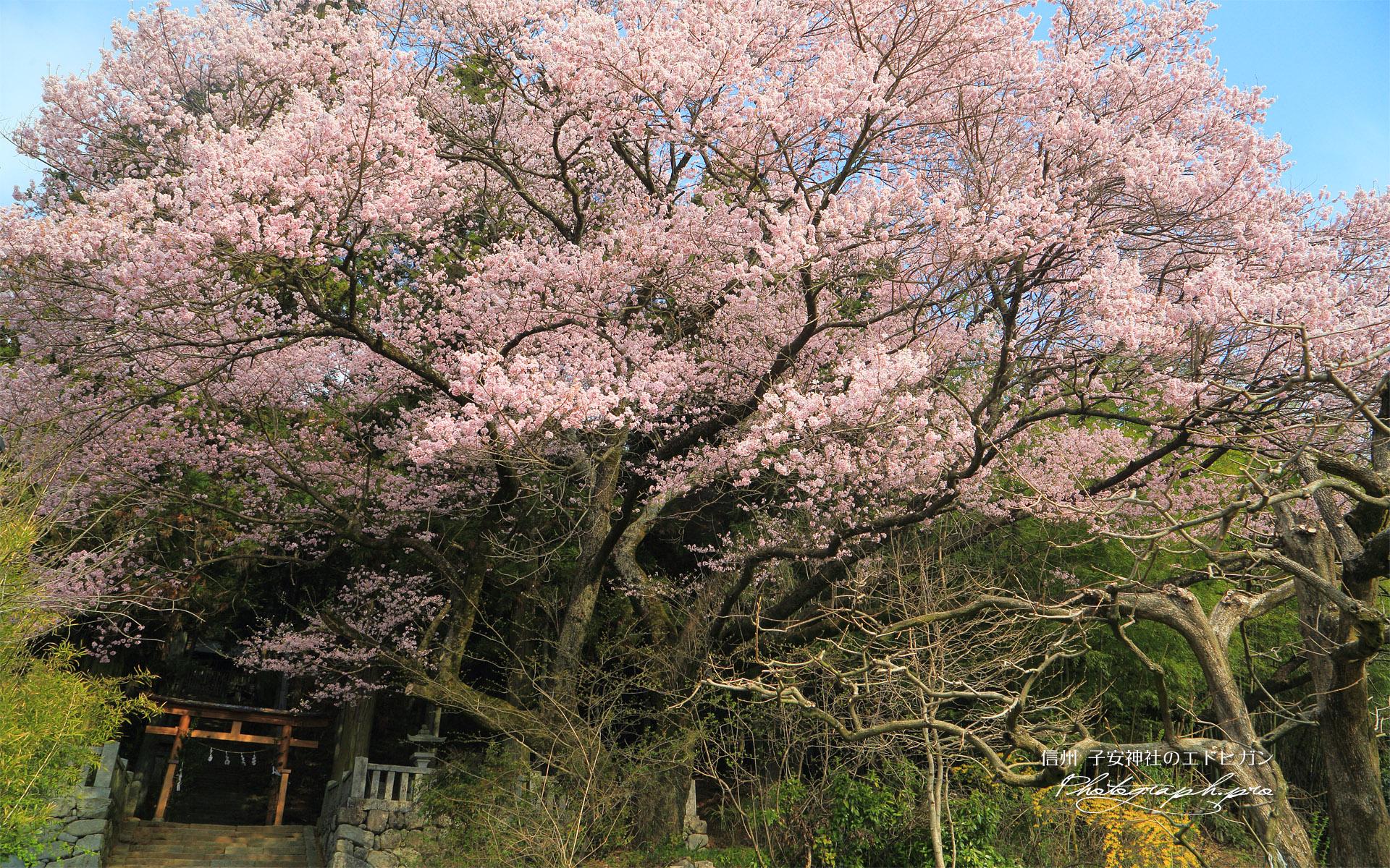 子安神社のエドヒガン