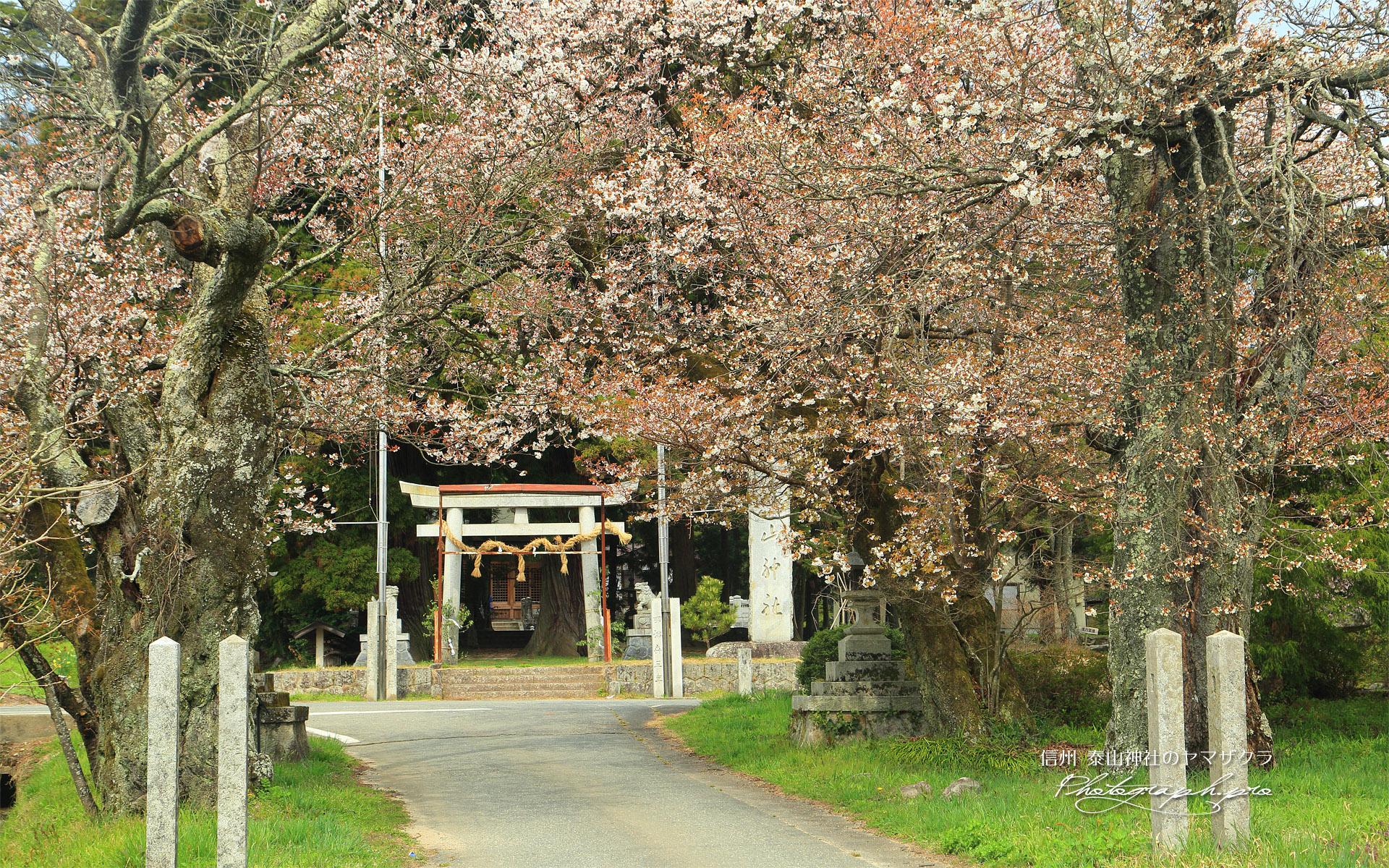 泰山神社のヤマザクラ