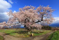 新田原の桜