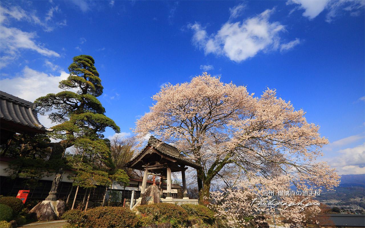 瑠璃寺の地主桜 壁紙