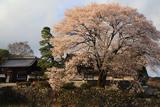 瑠璃寺の地主桜