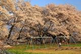 高森南小学校のソメイヨシノ